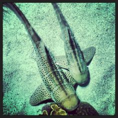 Today is our zebra shark Zeke's (smaller shark on the right) fourth birthday!