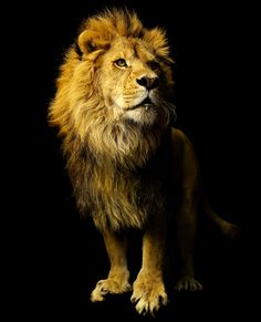 I AM THE LION OF THE TRIBE OF JUDAH!!!
