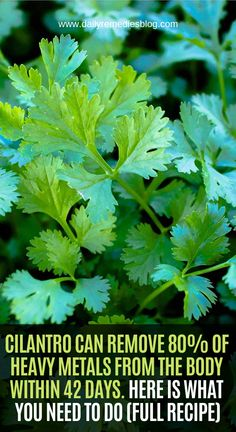 We can easily say that cilantro is one of the most effective and gentle detoxifiers of heavy metals and other toxic contaminants. You should also know that cilantro is also very useful and effectiv… Natural Health Remedies, Natural Cures, Natural Healing, Herbal Remedies, Cough Remedies, Natural Medicine, Herbal Medicine, Health Tips, Health And Wellness