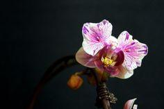 Phalaenopsis (mini) Liu's Twilight Rainbow 'Jester'