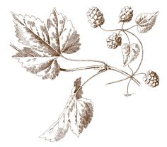 Vintage Botanical Engravings - Hops - The Graphics Fairy