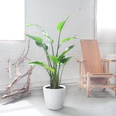Birds of Paradise plant is a large exotic looking popular ornamental plant. Planted in self-watering planter. Order online.
