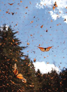 Monarchs ~~~I once saw Monarchs landing on a tree right above me at Stinson Beach, CA. It was breath-taking.