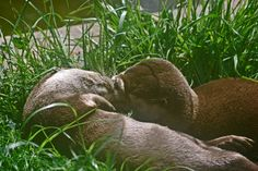 Otters share a lazy kiss - June 8, 2012