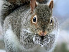 Cute Winter Squirrel Print by Christina Rollo.  All prints are professionally printed, packaged, and shipped within 3 - 4 business days. Choose from multiple sizes and hundreds of frame and mat options.