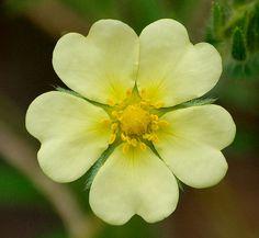 Lemony Yellow Hearts