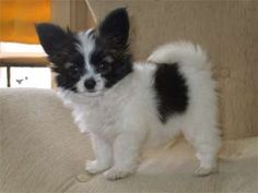 papillon_soares 3 months Owned By Daiane e Mario Soares Baby Puppies, Baby Dogs, Dogs And Puppies, Doggies, Papillion Puppies, Papillon Puppies For Sale, Perro Papillon, I Love Dogs, Cute Dogs