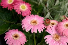 Gerbera--- Drakensberg Daisy 'Pink' --Bred by crossing a tough little wild species of  Gerbera from the snowy mountains in South Africa,  this excellent series of incredibly disease resistant,  high-performance DRAKENSBERG™ daisies with  rosettes of leaves produces a profusion of mediumsized  flowers on sturdy stems from spring until late  autumn. They thrive in summer heat and humidity  even in the Deep South. Great in landscapes and  containers. Hardy Zones 8-11.