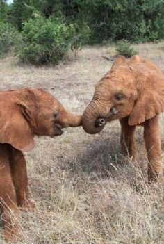 The David Sheldrick Wildlife Trust Barsilinga and Faraja getting themselves set for a game of 'tug of war'. African Elephant, African Animals, Cute Baby Animals, Animals And Pets, Beautiful Creatures, Animals Beautiful, Save The Elephants, Baby Elephants, Elephants Playing