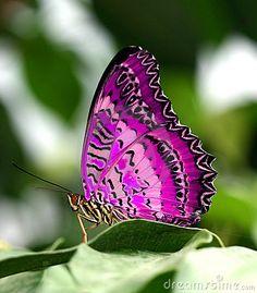 Pink & Purple Butterfly On Green Leaf
