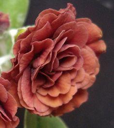 http://www.angusplants.co.uk/images/Forest%20Rocket.jpg