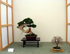 Juniper Bonsai - John Armitage