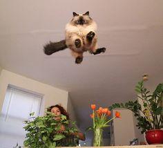 Gato voador?