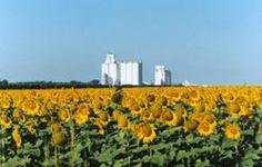 Sunflower view of Satanta photo by Trena Slater