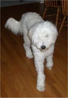 #ANNANDALE #VA #LOSTDOG 9-22-13 NEUTERED MALE WHITE #POODLE #WHEATENTERRIER MIX 703-280-4457 RECENT SIGHTINGS IN ANNANDALE NEAR THE CROSS COUNTY TRAIL LOST FROM CAMELOT NEIGHBORHOOD COLLAR TAGS AND MICROCHIP GROOMED RECENTLY HAIR SHORTER THAN PHOTO