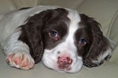 15 Reasons To Never Get A Springer Spaniel