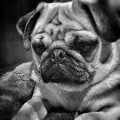 pugadise: A pondering pug ponders one's pug problems Grumble Of Pugs, Cat And Dog Memes, Dog Emoji, Cat Years, Dog Comics, Pugs And Kisses, Dog Games, Pug Puppies, Cute Pugs