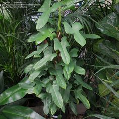Fiddleleaf philodendron -- Philodendron panduriforme (From Calusa Palms Nursery)