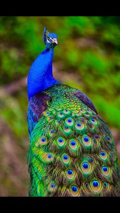 "Gorgeous photograph of a blue peacock. There are several groups of birds identified as ""peacock"", but this one is an Indian peafowl (the male is called a peacock, the female is called a peahen). Pretty Birds, Beautiful Birds, Animals Beautiful, Beautiful Pictures, Exotic Birds, Colorful Birds, Exotic Animals, Colorful Animals, Exotic Pets"