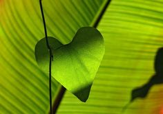 green heart shape leaf plant preview