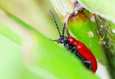 What are the red beetles eating my Asiatic lilies? It's a lily leaf beetle. Read this article for more information on these pests and what you can do to save your precious lily plants.