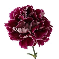 New Burgundy Moonlight Carnations are available at FiftyFlowers! Deep Burgundy petals make up this sultry, ball shaped bloom. The lighter underneath petals create a beautiful contrast to this richly colored flower. Use alone or pair with with white roses for an elegant and classy bouquet.