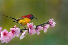 Goulds_Sunbird.jpg (720×478)