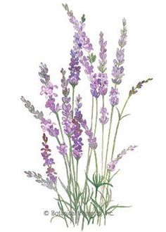 This is the tall, old fashioned, wonderfully fragrant lavender; an extremely valuable and easy to use household herb, an important ingredient in bathroo Watercolor Cards, Watercolour Painting, Watercolor Flowers, Watercolors, Vintage Diy, Botanical Prints, Dried Flowers, Flower Art, Perennials