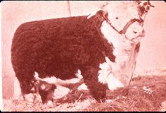 """1940. """"Advance Domino 3."""" Grand Champion Hereford Bull, National Western, Denver. This bull was considerably """"typier"""" and more """"extreme"""" than most of his contemporaries. https://www.msu.edu/~ritchieh/historical/cattletype.html"""