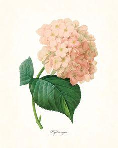 Redoute Series No.1 Hydrangea - Botanical Print