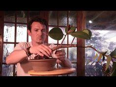 167) Ficus elastica Bonsai Rubber Tree Bonsai, Rubber Fig Bonsai Semi Ca...