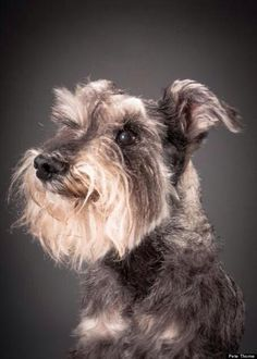 """This Mesmerizing Photo Series Captures The Regal Beauty Of Aging Dogs-""""Lucky, the 14-year-old schnauzer ... Four years ago he was attacked by two American bulldogs. The vet said he probably wouldn't survive the night due to blood loss. He greeted them with a wagging stub-of-a-tail the next morning! They said he'd have a punctured/collapsed lung. Nope! They said he'd lose an eye. Still uses both. They said he'd lose a leg. He doesn't even limp on a rainy day!"""