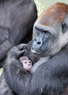 gorilla with her baby
