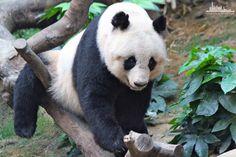 Панда Оушен Парке.  http://www.ritc.com.hk/