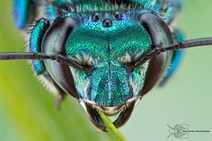 Orchid Bee - Euglossa dilemma by Colin Hutton Photography, via Flickr