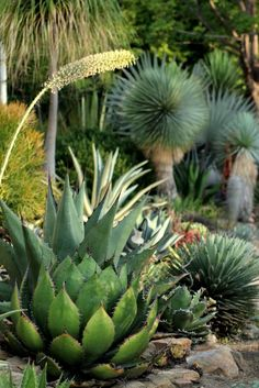 agave perfection!