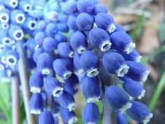 Weinbergs-Traubenhyazinthe, Blume, Blüte, Blühen