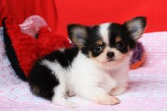 Welcome to ... Chihuahua Chihuahua At Love with champion lines and love. I guarantee it Big house little farm Chihuahua Chihuahua Chihuahua Breed for quality and grades of competition. And grade pet
