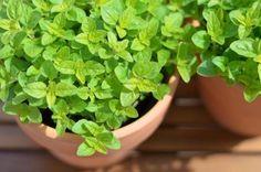 majorán je  jednoročná, niekedy aj dvojročná bylina s priamou, rozkonárenou stonkou a protistojnými, oválnymi listami z čeľade hluchavkovité. Pestuje sa z predpestovaných sadeníc a von sa vysadzuje až v polovici mája.Vňať majoránky určenej na sušenie zbierame dvakrát: na začiatku kvetu v júli a koncom septembra