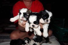 Shih-Tzu Puppies ugh I miss my dog!