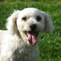 ― Bichon Frise Rescue ― ADOPTIONS Bichon Frise Rescue, Post Animal, Helping The Homeless, Goldendoodle, Little Dogs, Animal Rescue, Dog Breeds, Colorado, Washington