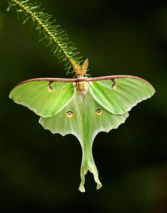 Magnificent Luna Moth - I have yet to see one of these guys in person... still looking. 7.4.14 - I finally encountered a Luna moth Camden, Maine whike camping !!! Yay!