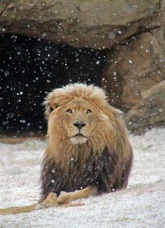 This is like Aslan in Narnia. Lion in snow Mundo Animal, My Animal, Power Animal, Beautiful Cats, Animals Beautiful, Animals And Pets, Cute Animals, Wild Animals, Baby Animals