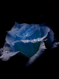 BLUE ROSE..Wish I could find a true blue rose. Been wanting to plant one up with Wyatt next to his headstone.