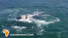 Volunteer with Via Volunteers in South Africa and check out the amazing whales in Hermanus! This video was taken by Tuva, a wonderful volunteer from Norway. http://www.viavolunteers.com/