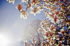 propiedades de la magnolia