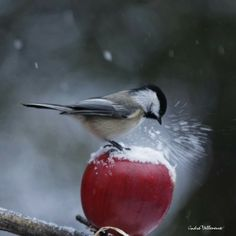 Black Capped Chickadees are so cute!