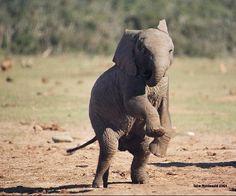 Elephants | ... : Elephants on PBS' Nature: Echo and Her Family. Sweetest Elephants