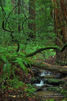 Redwoods - John Muir National Monument - A Pacific Rain Forest  