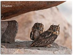 INDIAN EAGLE OWLS IN THEIR DEN